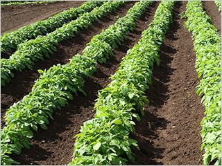 주말농장 텃밭:넓은 밭을 이랑별로 쪼개서 1년 단위로 임대해주는 방식으로 운영됩니다. 빈 땅이 부족한 도심에서 안정적이면서도 합법적으로 농사를 지을 수 있는 장점이 있고, 수도시설이나 간단한 농기구, 거기에 이랑 만들기나 배수로 등을 완비해서 초보자들이 쉽게 농사를 시작할 수 있습니다. 초보자들이 쉽게 농사를 시작할 수 있습니다.