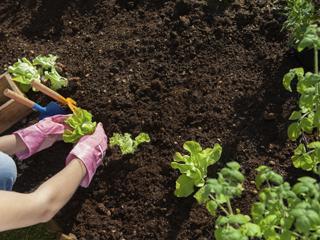 자투리텃밭:자투리 텃밭이란 개인 밭이거나 제한 없이 자유롭게 농사짓는 것이 가능한 밭을 말합니다. 전업농의 밭 한쪽을 얻는 경우도 있고 과수원의 한 귀퉁이나 마당까지도 다 해당됩니다. 텃밭이 주말농장과 크게 다른 것은 다음 해까지도 내 밭 이랑이 유지되고 농사 시작도 내 맘대로 할 수 있다는 것입니다.