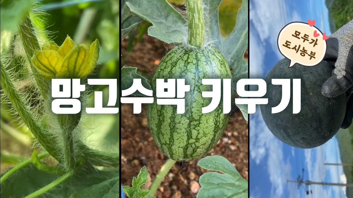 모두가도시농부_망고수박 키우기: